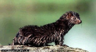 Michigan Mink